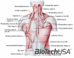 /sites/testbiotechusashop/documents/news/_extra/1336/o_backmuscles_20130212155754.jpg